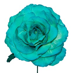 12T-Rosa-maravilla-teñida